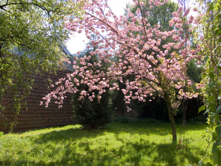 Kirschblüte in Herne <3