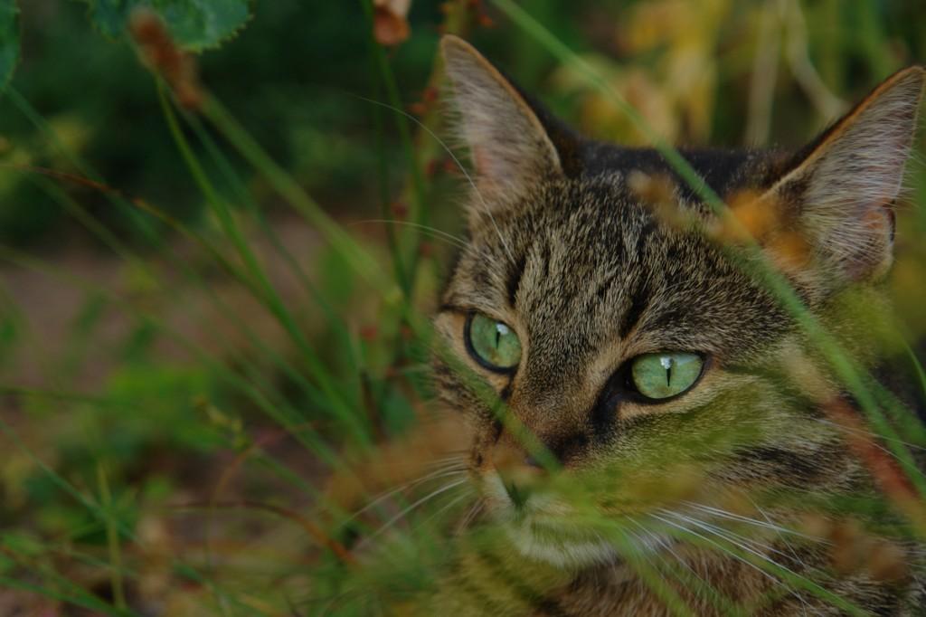 Meine Katze mit grünen Augen im Gras