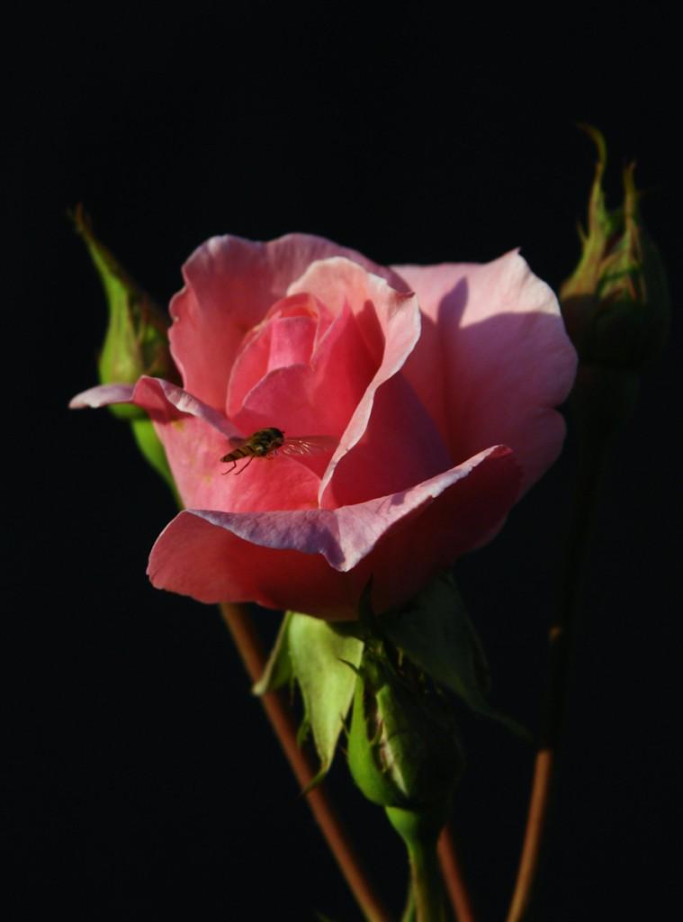 Makroaufnahme einer rosa Rose mit Schwebewespe