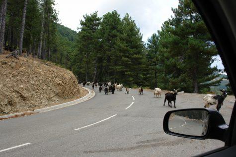Ziegen auf einer Straße in Korsika