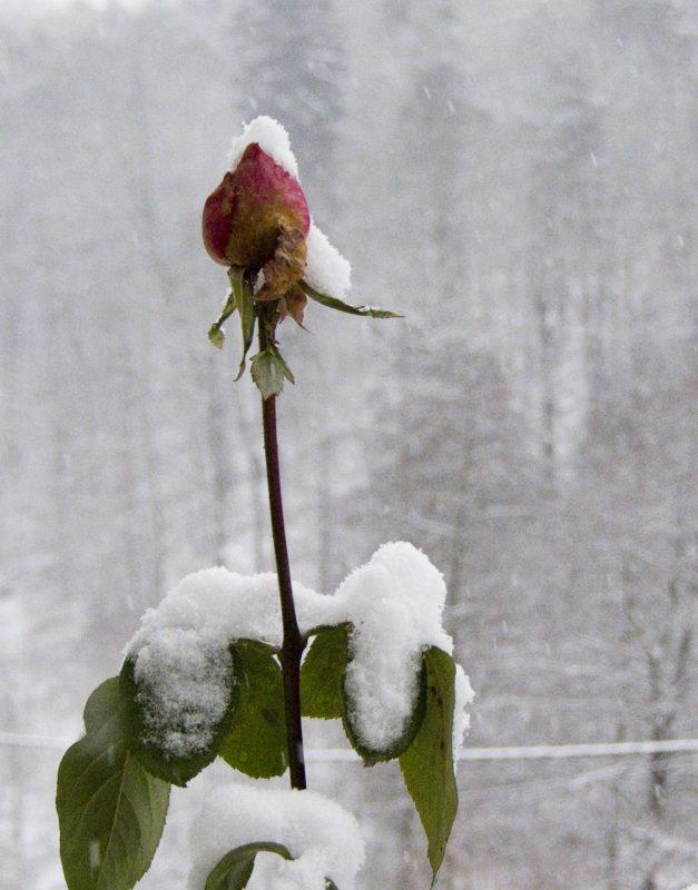 Rose im Schnee