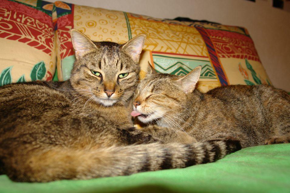Katzen-Putzfimmel