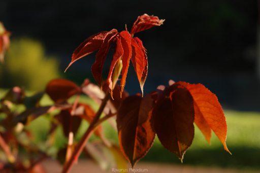 Rosenblätter in der Sonne Schönau
