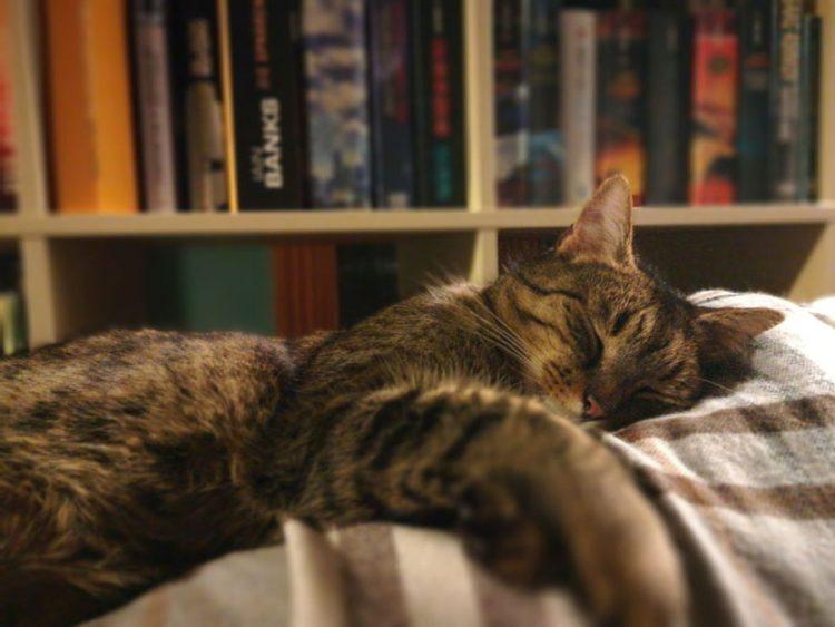 Kater Lopi schläft friedlich-flauschig auf der Couch