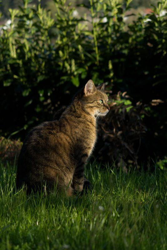 Kater Lopi sitzt im Garten