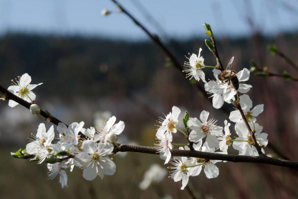 Biene im Frühling